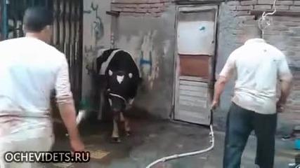 Бик брани живота си , изпрати касапин в нокаут