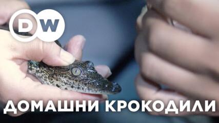 Крокодилите в Белиз - влечуги в опасност