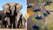 Мистерия: слонове масово умират в Ботсвана, каква е причината