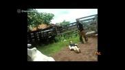 Тежък нокаут от крава