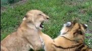 Бебе лъв срещу бебе тигър Сладури!
