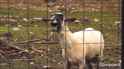 Смях! Овца с талант - Част 2