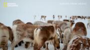 Северните елени във Финландия   Европа отвисоко   National Geographic Bulgaria