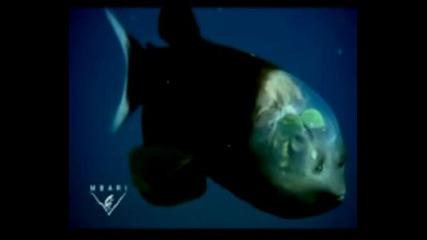 видео на рибата с Прозрачна глава