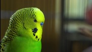 Disco - страхотен говорещ папагал!