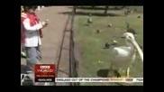 Пеликан Изяжда Гълъб