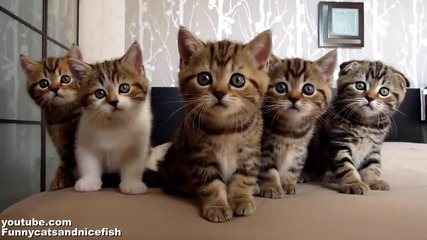 Funny Cats Choir ( Dancing Chorus Line of Kittens )