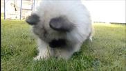 Пухкаво кученце срещу глухарче
