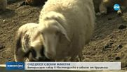 Ветеринар се зарази с бруцелоза в Кюстендилско