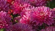 Осени Чудесные Цветы