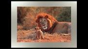Много Добри Снимки На Лъвове