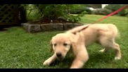 dogs 101-golden retriever