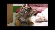 Бебе Тигър