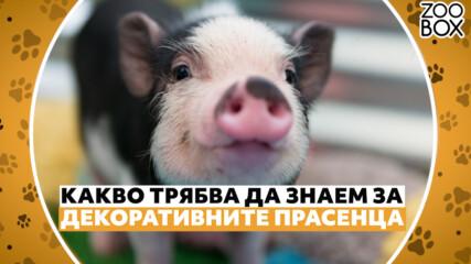 Какво трябва да знаем за декоративните прасенца