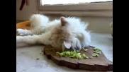 Много Сладка Котка