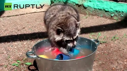 These Fluffy Raccoons Would Love to Clean Your Dishes
