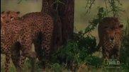 Най-смъртоносните на света - Братя гепарди на лов..
