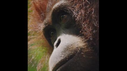 Орангутаните