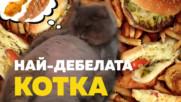 Бони Бони - най-дебелата котка-знаменитост в Instagram!
