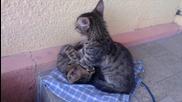 Котка масажира братчето си!
