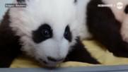 Бебетата панди от зоопарка в Атланта вече имат имена