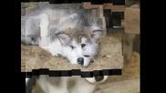 Малки Кученца - Аляски Маламут