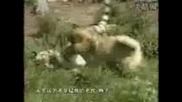 Куче Кангал Срещу Бенгалският Тигър