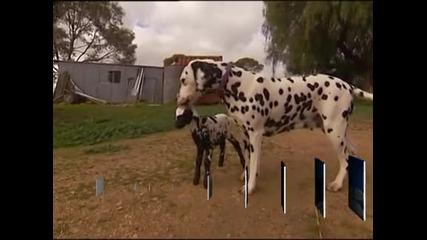 Далматинец осинови агне в австралийска ферма