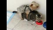 Куче Злоупотребява С Котка Докато Тя Яде
