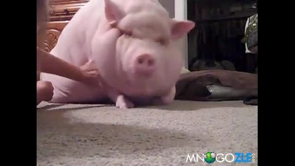 да си отглеждаш прасе вкъщи... смях