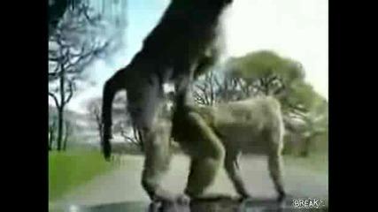 маймунски му работи (голям смях)