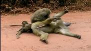 Маймуна си мърда пишката