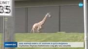 Бебе жираф избяга от зоопарк в САЩ