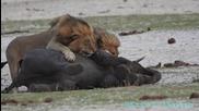 Лъвове убиват слонче - (hd)