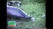 Изваждат От Змия Хипопотам
