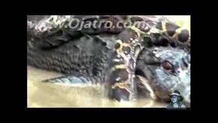 Питон vs Алигатор – атакува Алигатор