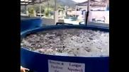 Щуро хранене на риба в развъдник