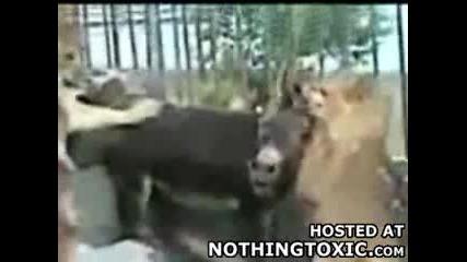 магаре срещу лъвове... крайния резултат изненадва!
