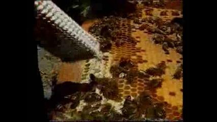 Белязване на пчелни майки (чорбич)