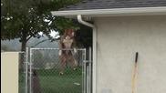Pitbull прескочи ограда