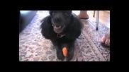 пудел яде морков