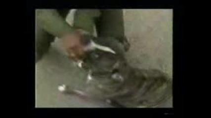 Pitbull напада жена