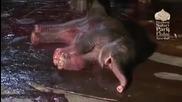 Нещо интересно :) 16+ ! Ето как се ражда бебе слон !
