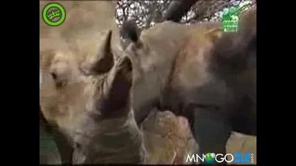 Слон е*e носорог