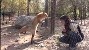 Лисица прави номера за да пoлучи лакомство