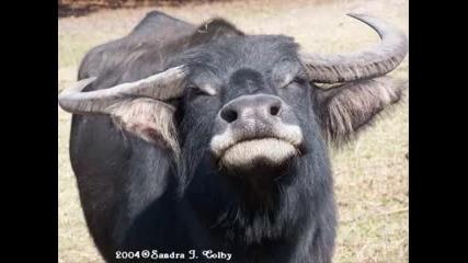 Честит Никулден !! Изкарай Гано говедата