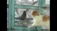 Невъзмутим гълъб дразни котка