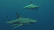 Бичите акули