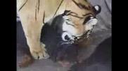 Тигър И Куче Се Натискат – Смях !