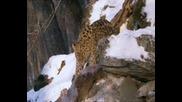 Амурския леопард